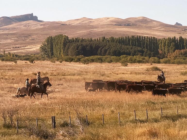 Argentinien, Rinder