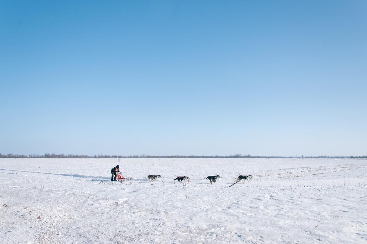 Schlittenhunde, Huskys